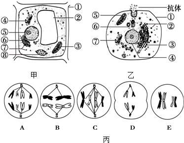 如图甲,乙分别为植物和动物细胞的亚显微结构模式图,图丙为某生物体内
