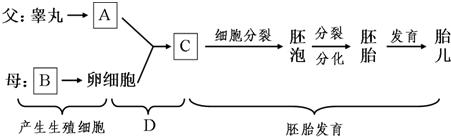 如图表示人的受精及胚胎发育过程,请据图回答