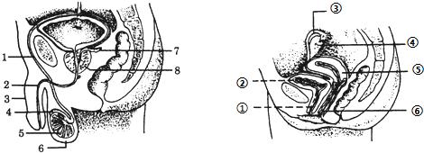 女含男性生殖器官�_(3)将男性的[______]______结扎,可阻止精子的输送;将女性的[______]
