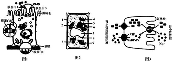 如图l是小肠上皮细胞亚显微结构示意图,图2是植物细胞