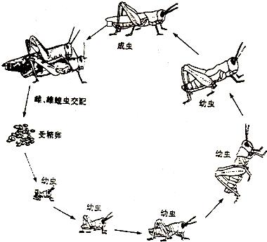 如图为蝗虫发育过程示意图,请据如图回答下列问题