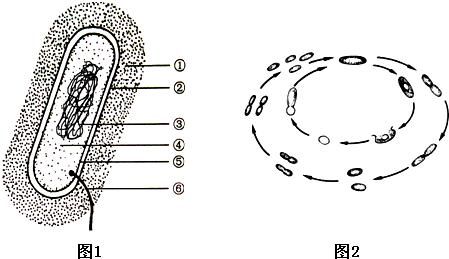 如图1为细菌的结构示意图,据图回答