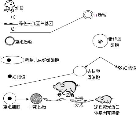 下图为我国首例绿色荧光蛋白转基因克隆猪的培育过程示意图,请据图