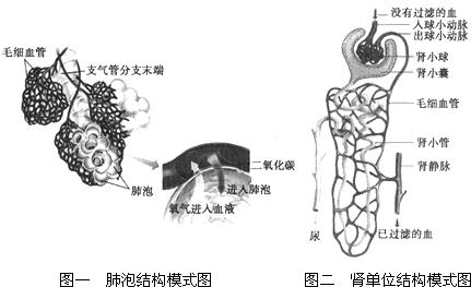 关于肾的泌尿结构图