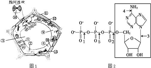 图1是细胞亚显微结构模式图,图2是atp的分子结构式.请