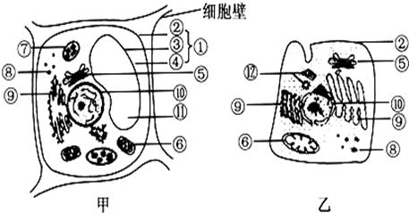 (3)如果甲细胞是植物根尖细胞,则该细胞没有的结构是大液泡和
