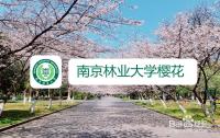 南京林业大学樱花