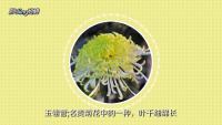 菊花的种类?