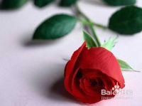 怎样区分月季和玫瑰