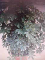 鸭掌木养殖及繁殖方法