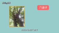 降龙木是什么树