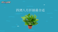 绿萝扦插快速生根方法
