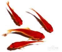 怎样如何多少养几条多少条鱼最好