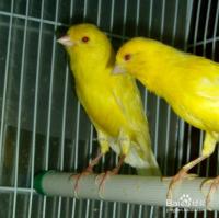 玉鸟怎么分辨公母
