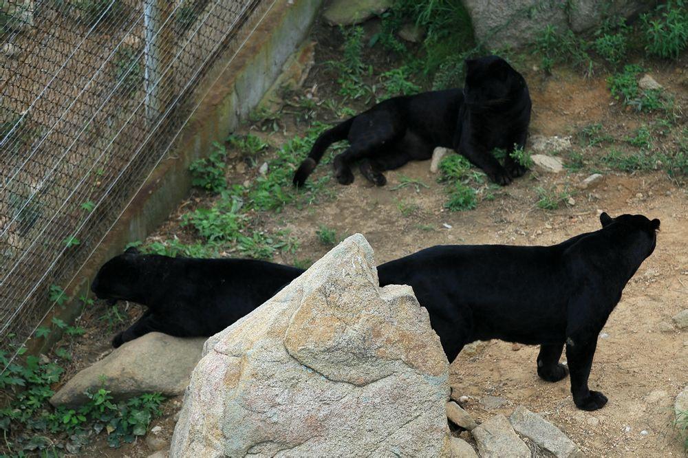 黑底黑豹动物图