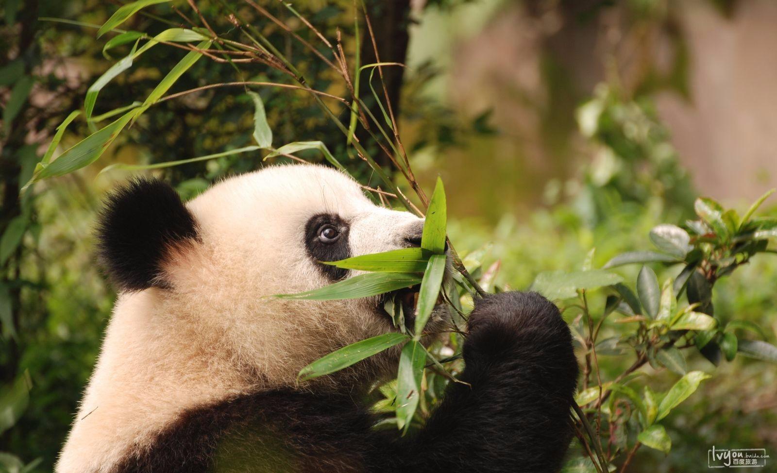 成都大熊猫基地一日游