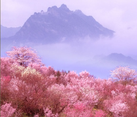 樱花谷位于云南省腾冲县北海乡双坡村境内, 是高黎贡山自然保护区,距
