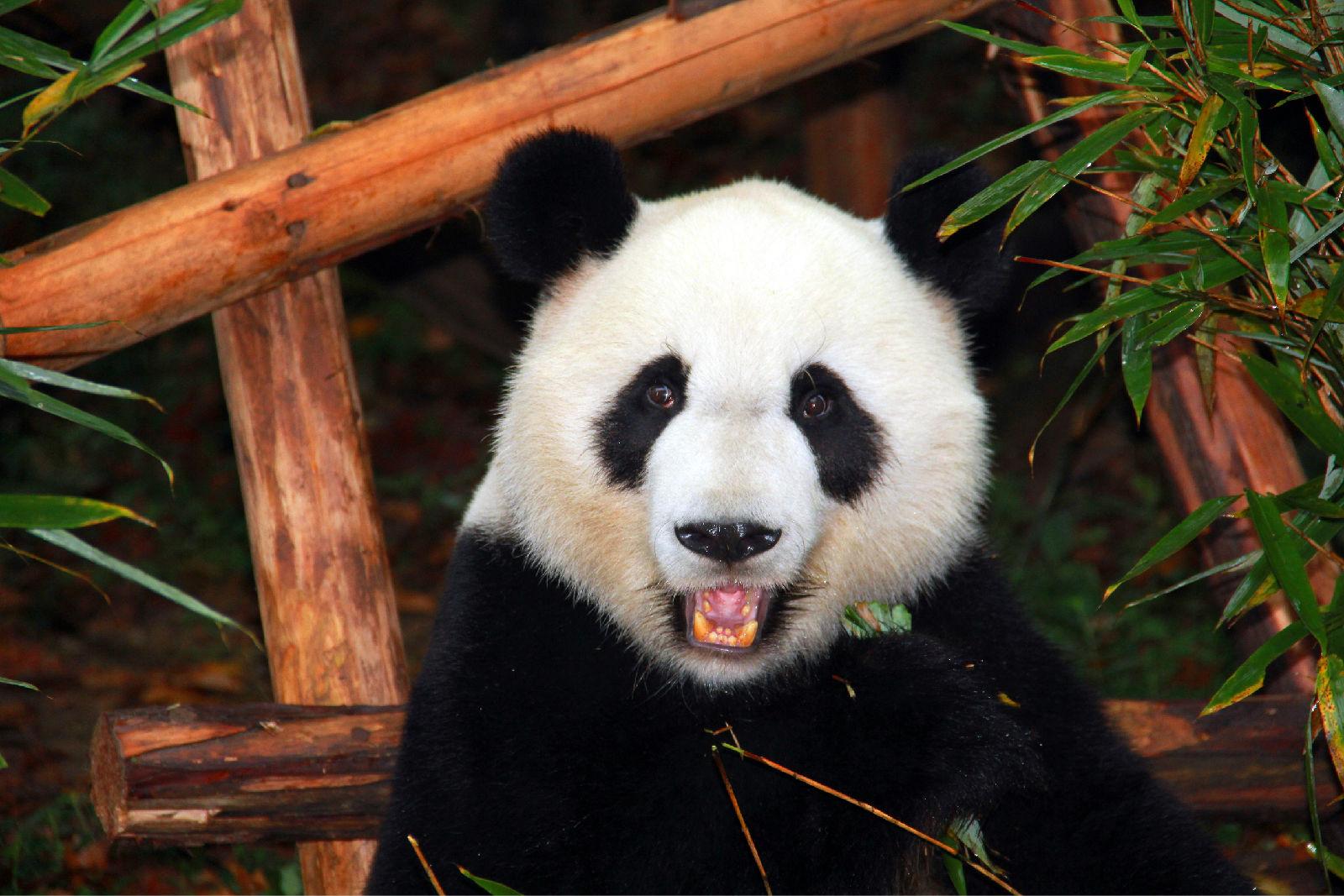 [46图]真的好有爱的地方 ,熊猫宝宝好可爱,熊猫妈妈吃竹子的样子好亲
