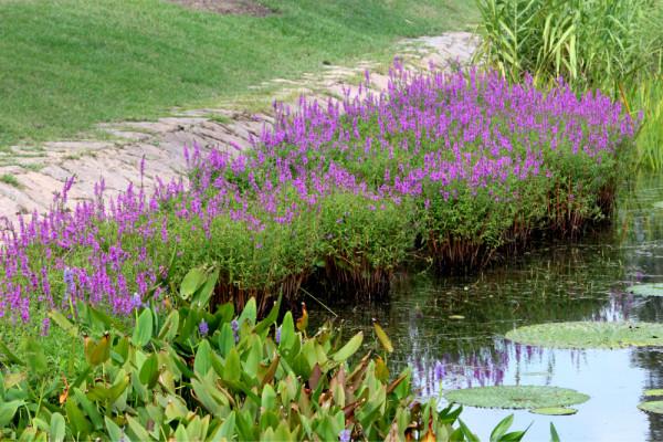 水边生态植物配置、
