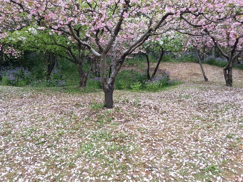 寂静樱花风景图片大全