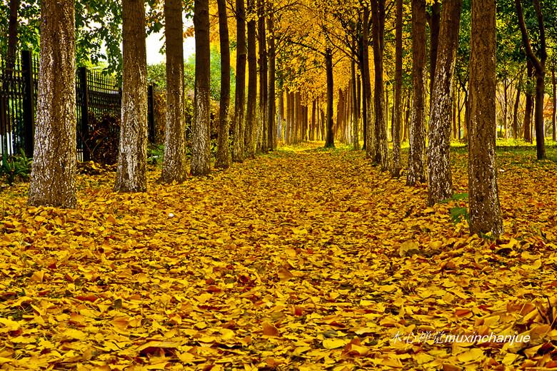 简介:半山国家森林公园因为温度比市区低,虎山路两边的银杏树相比图片