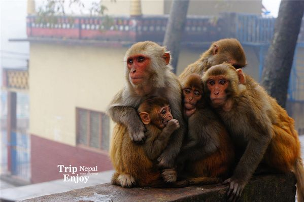 早上气温低这猴猴家人温馨拥抱一起图片