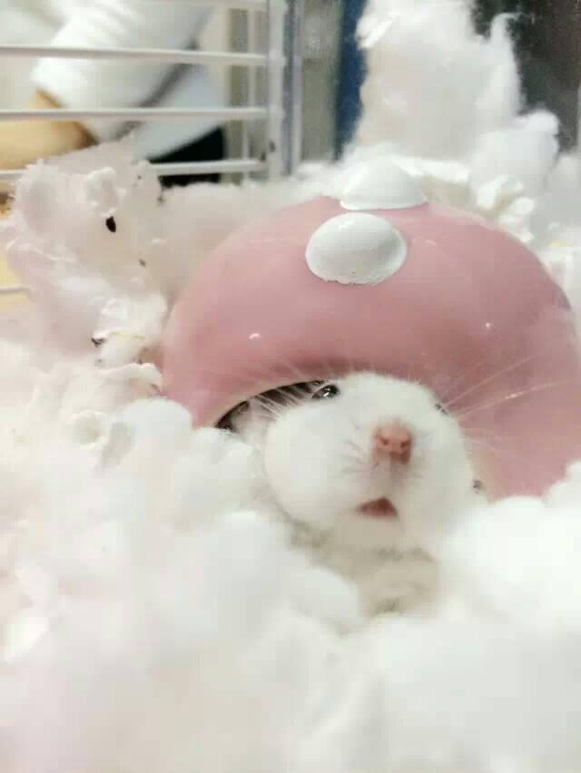 可爱的仓鼠照片