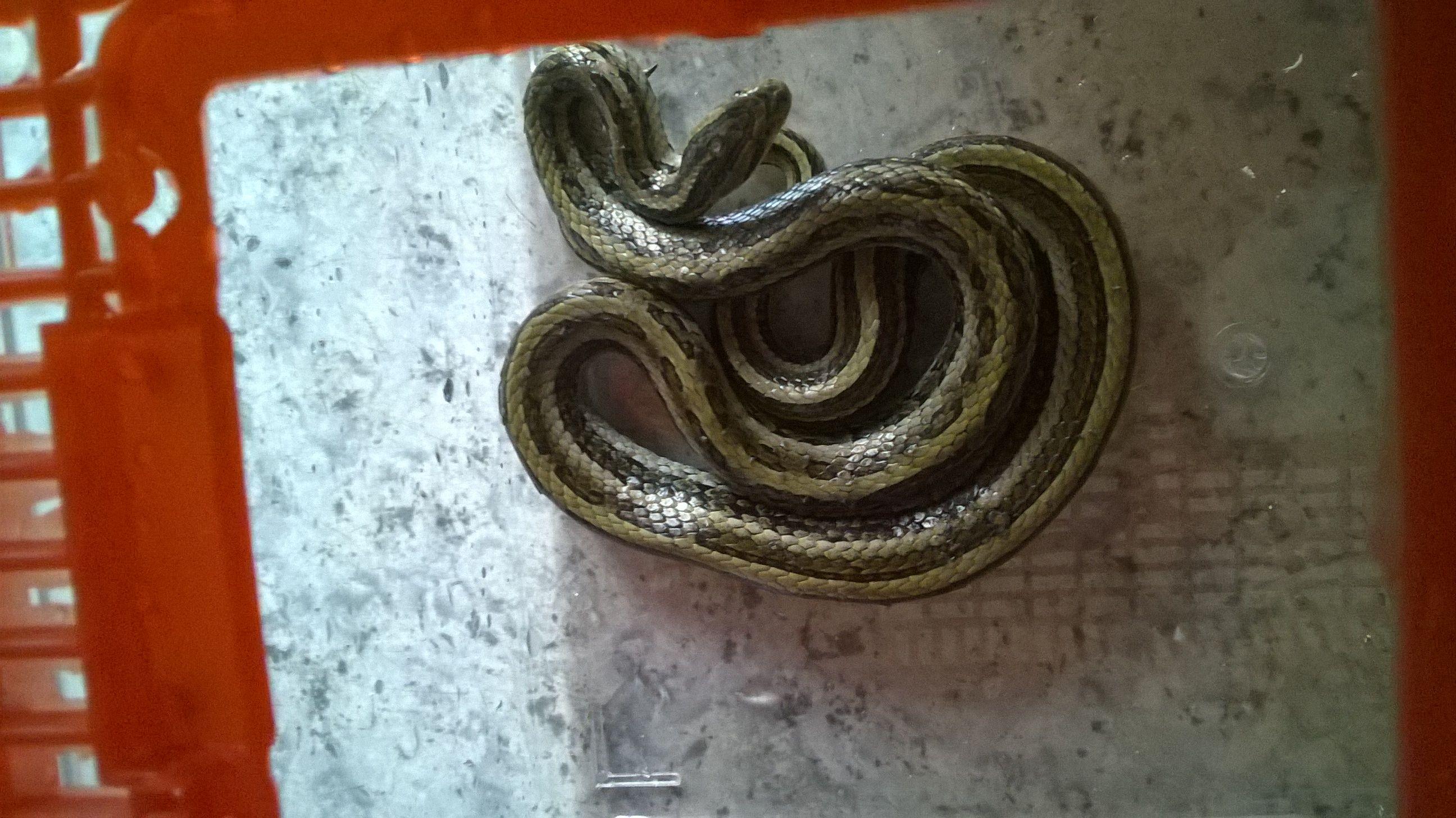 宠物蛇的问题,是什么品种呢?