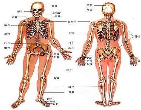 老年女性人体囹�a_骨关节的介绍