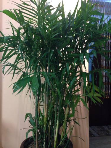 这是什么种类的竹子?