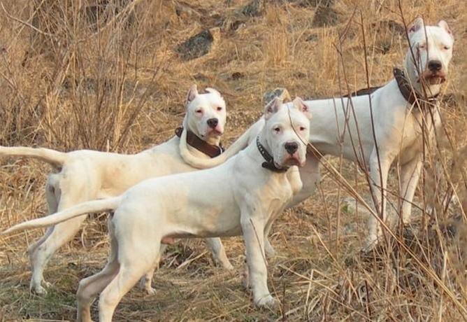 阿根廷杜高犬,毛色浅黄,性格凶悍,成群可狩猎美洲狮和美洲豹的超凶猛