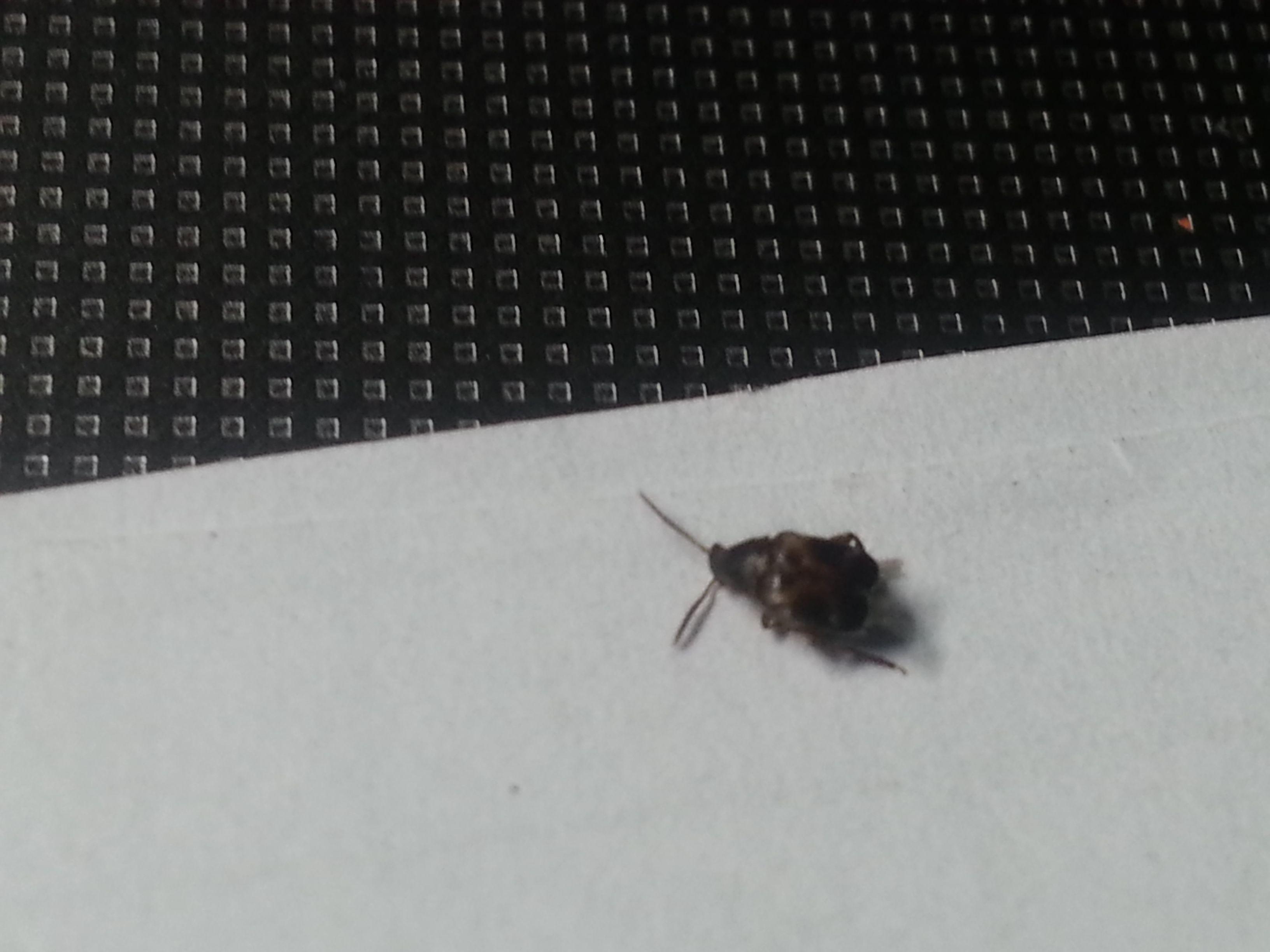 有图求真相>家中出现硬壳 会飞 像芝麻的小黑虫,是啥