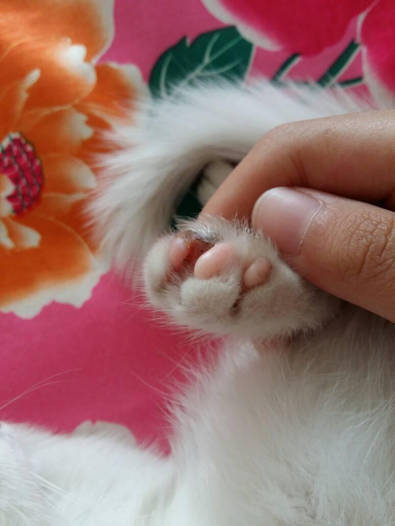 小猫的爪子成了这样怎么治