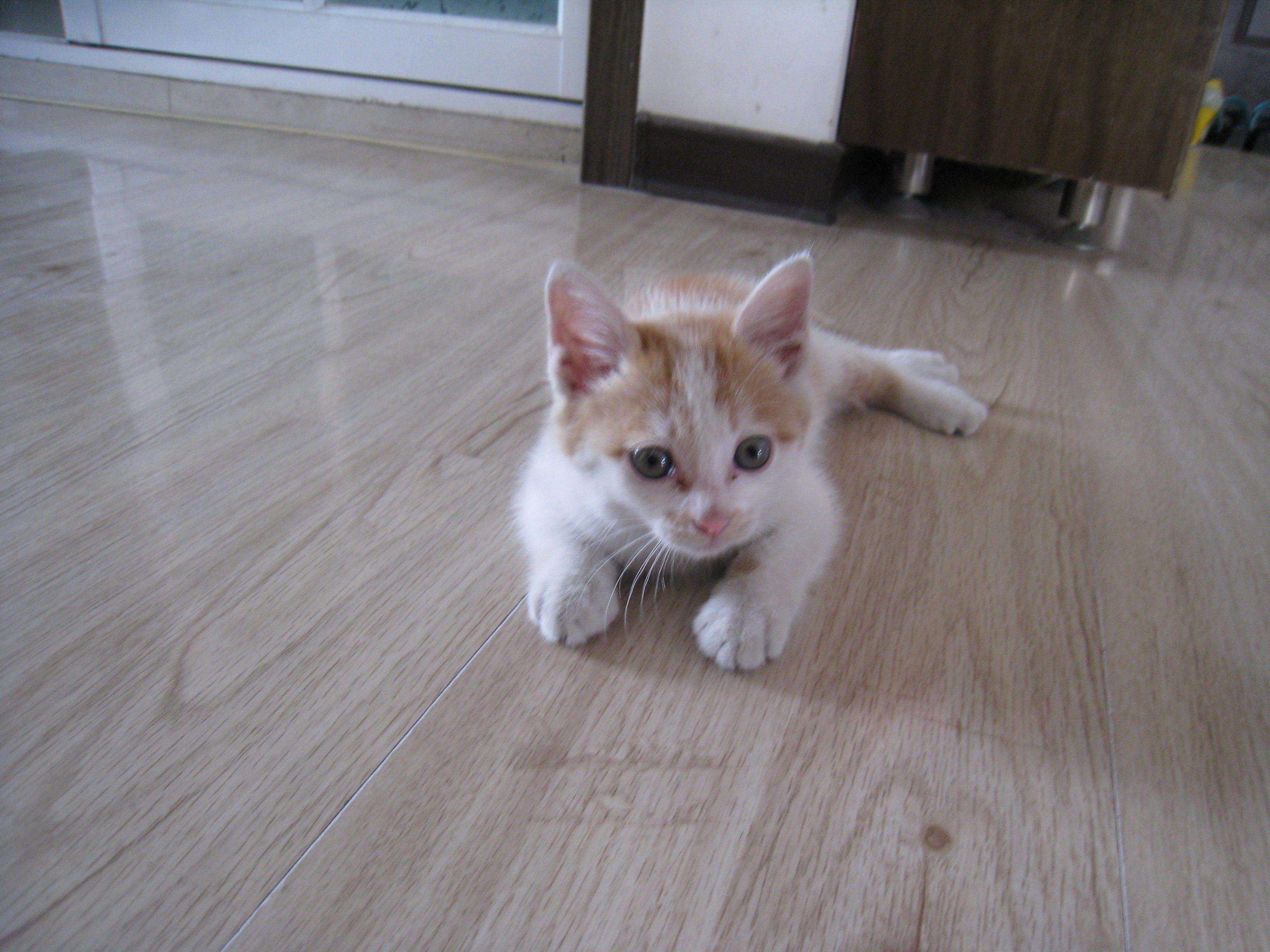 黄白色的小猫,黄眼睛,长毛,是啥品种的.