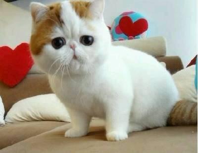 加菲猫价格多少钱一只