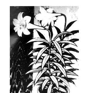 黑白木刻版画 简单 关于花的,初一美术课要用,快一些