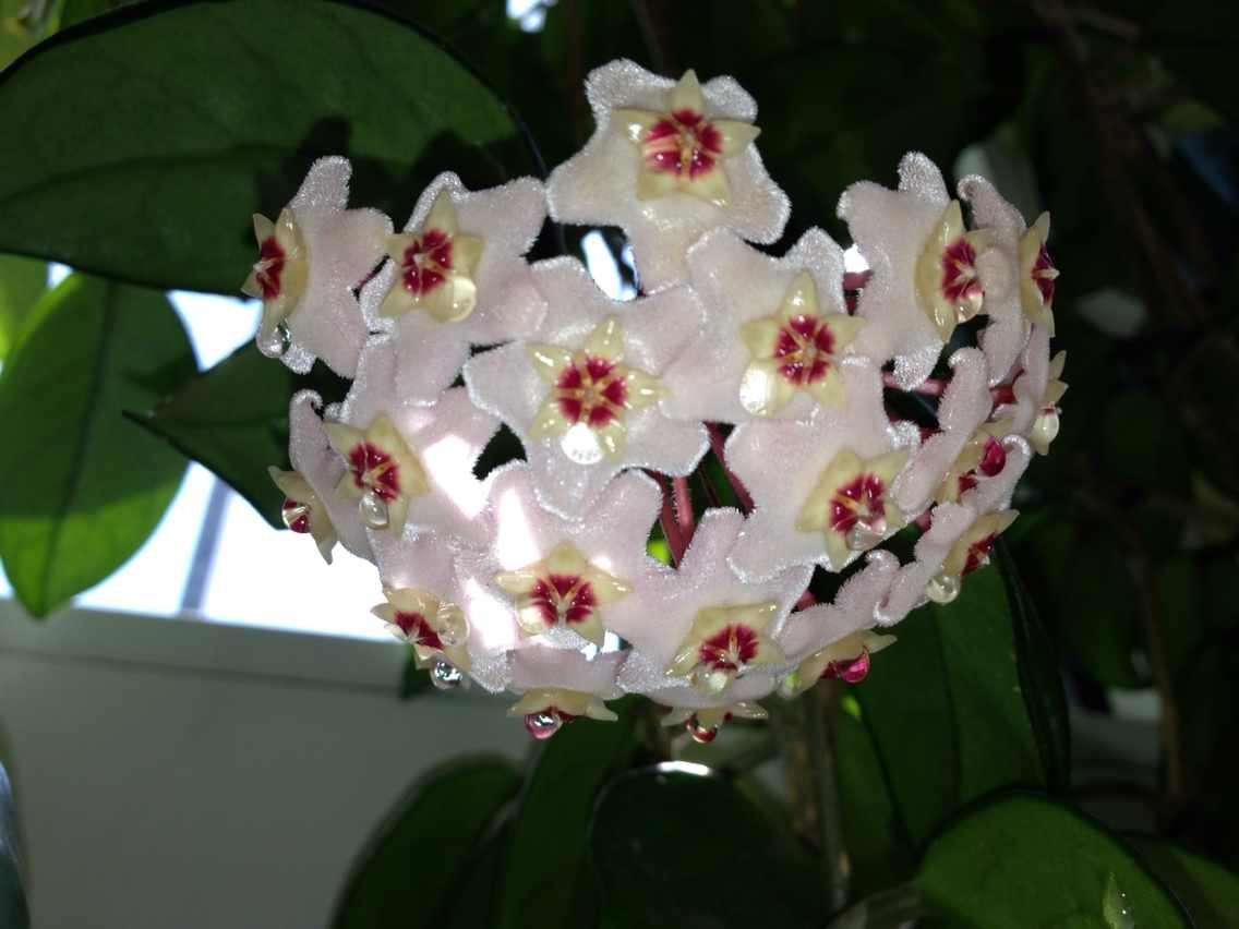 特别想知道这种花叫什么名字,爬藤型植物,开花有香味.