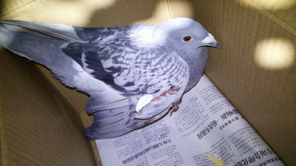 乳液鸽鸽子鸟鸟类960_540蜗牛霜和动物哪个好图片