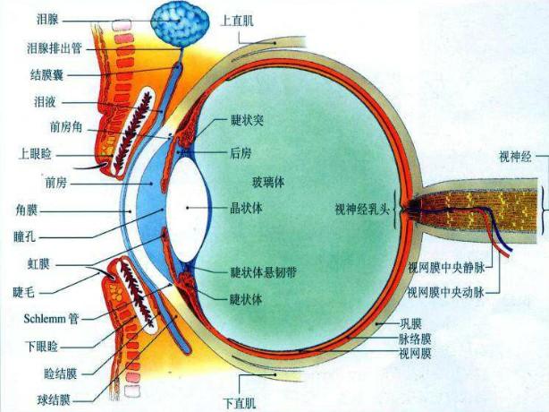 眼的解剖图