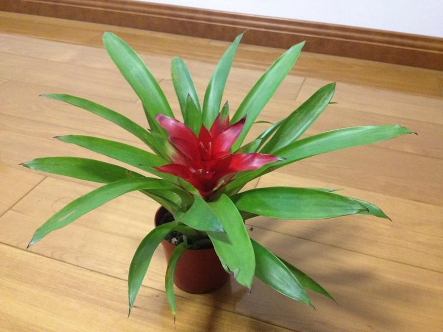 我的这盆凤梨科植物是什么品种啊?能否水养啊?