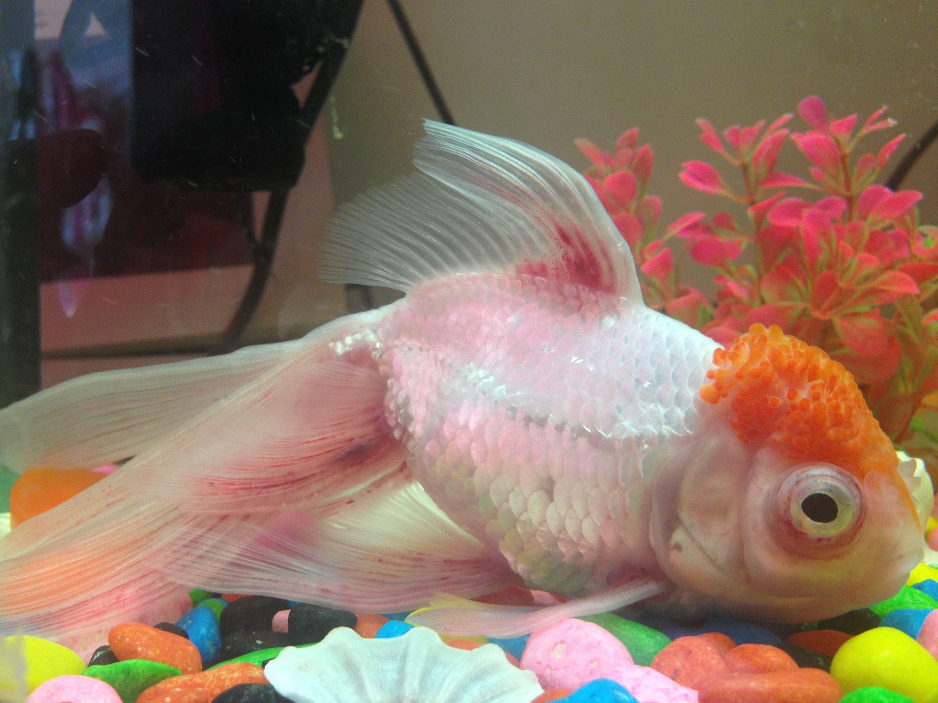 眼睛严重充血图片_金鱼鱼鳍上红丝,溃烂,眼睛现在也充血了,头顶也没有原先那么红啦.