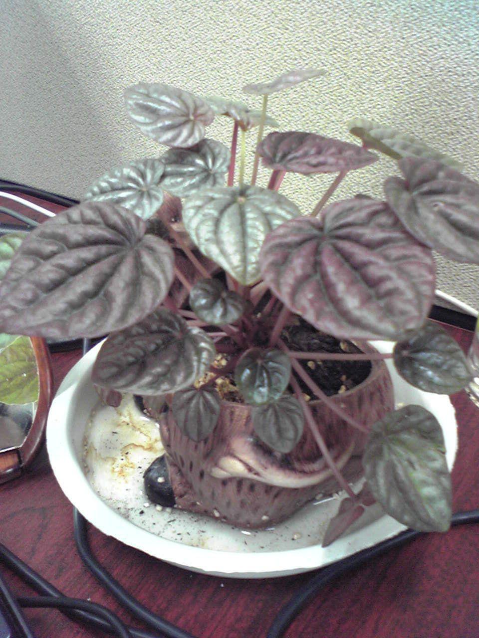 紫色带绿心型叶子,紫色的茎,草本,这是什么植物阿?有图