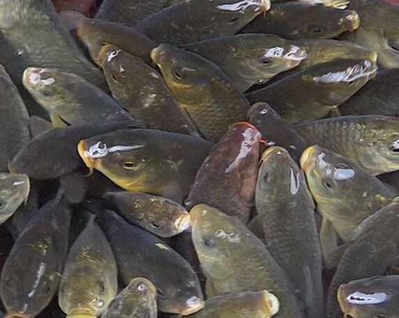 禾花鱼的历史背景