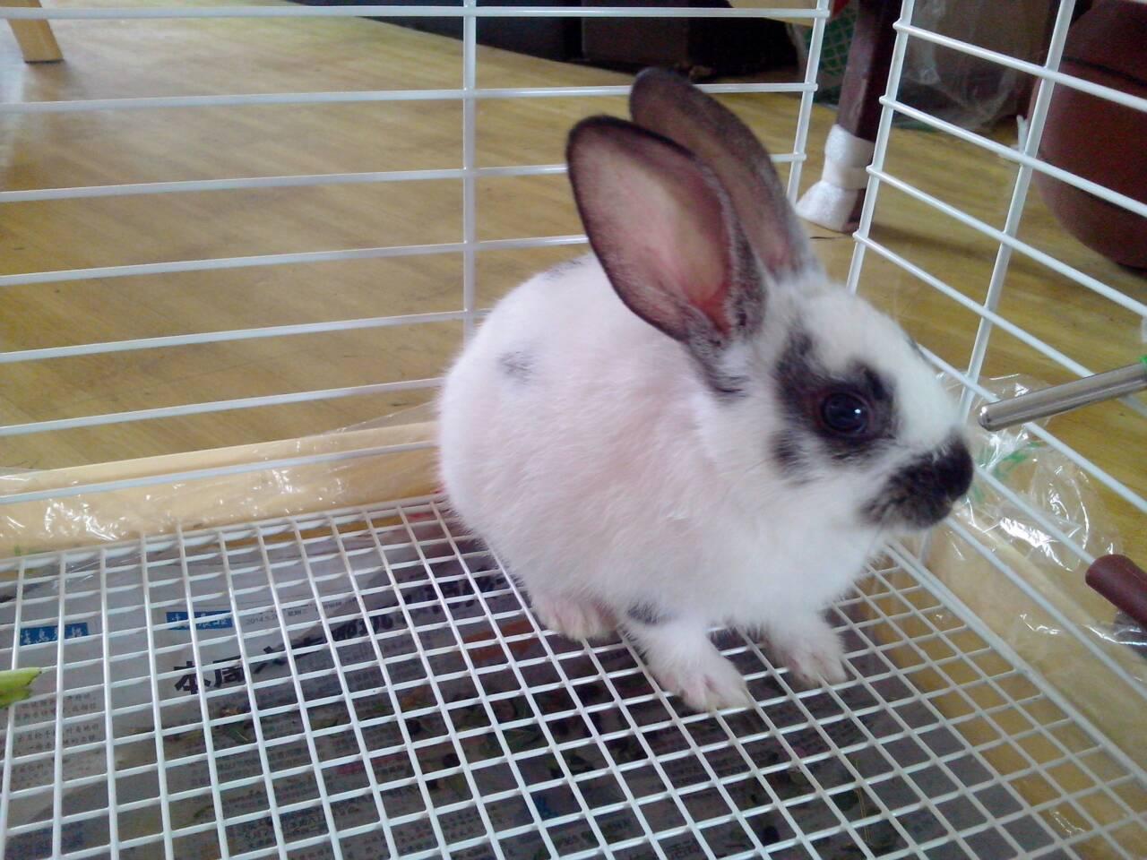 我这只兔子是兔?注意感染?蜱虫化脓需要图片