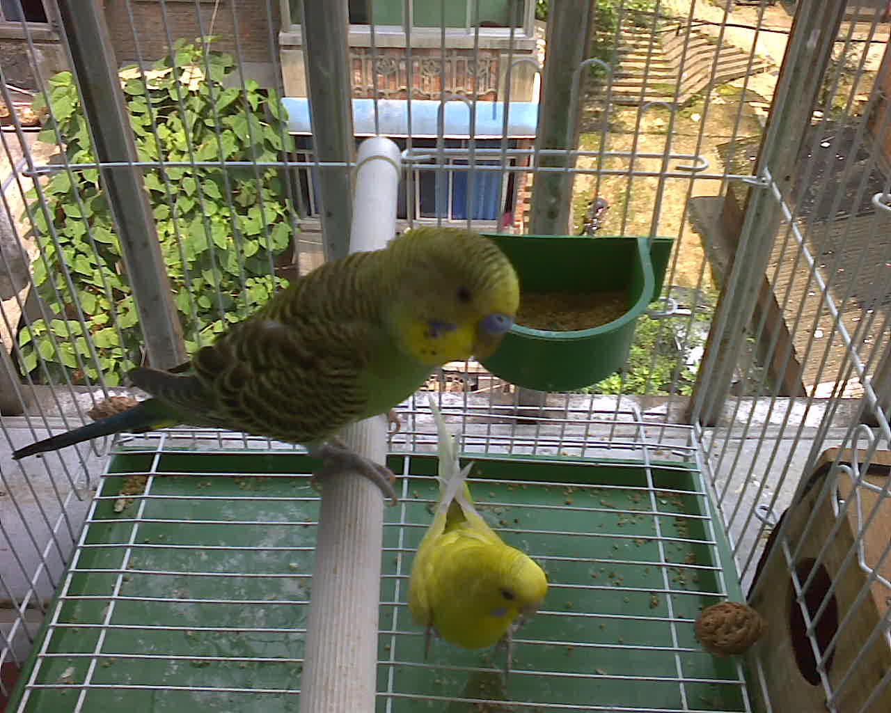 虎皮鹦鹉幼鸟会是什么颜色?