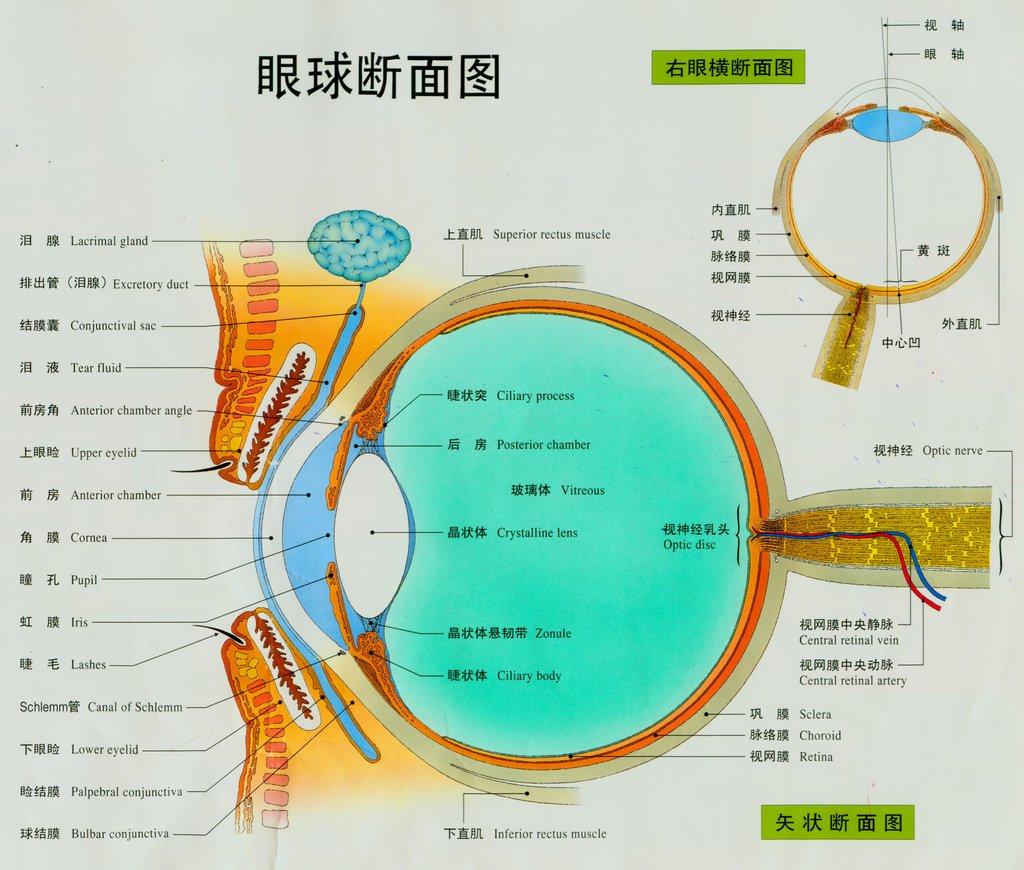 为什么一会儿又能恢复 图片是详细的眼部结构图片.