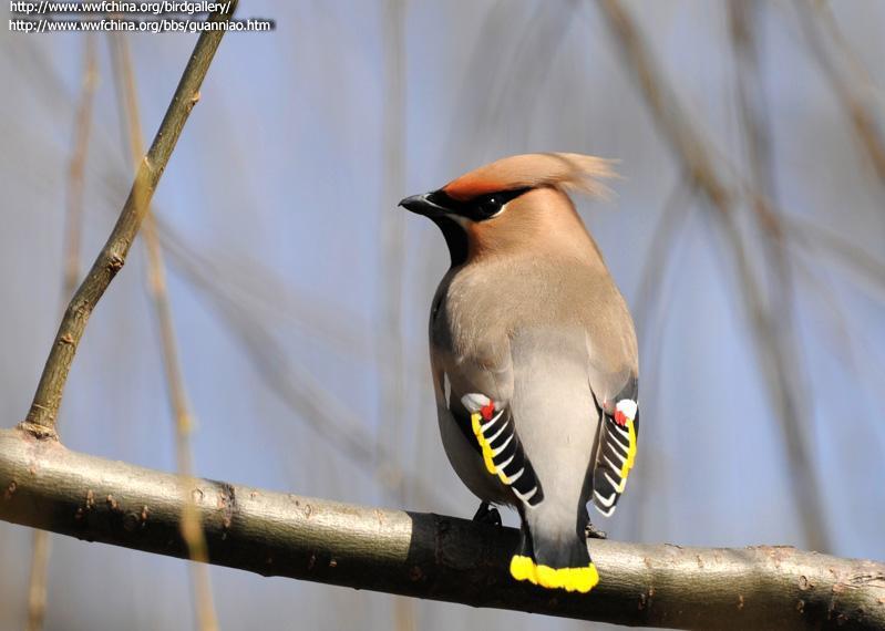 成鸟次级飞羽的羽端具蜡样红色点斑.