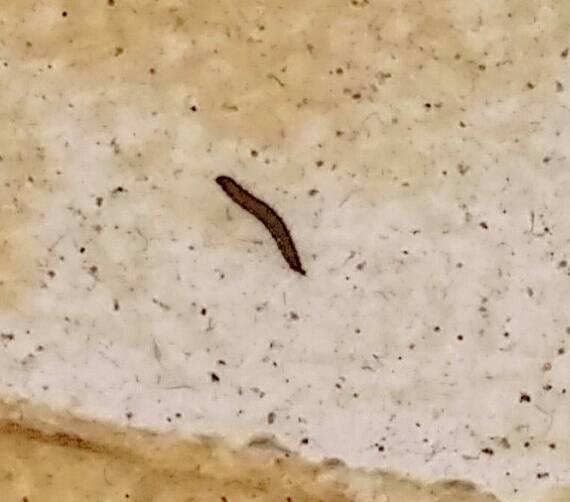 这几天在卫生间每次洗澡后发现几条小黑虫,用50度温水图片