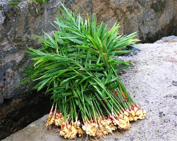生姜是科的植物糕点v生姜面制品图片