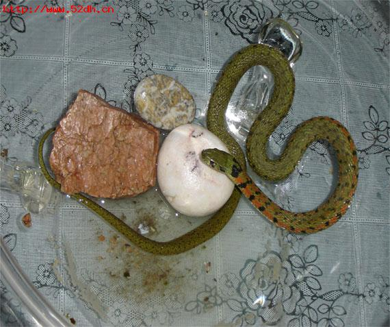 请问这是什么品种的宠物蛇?会咬人么?